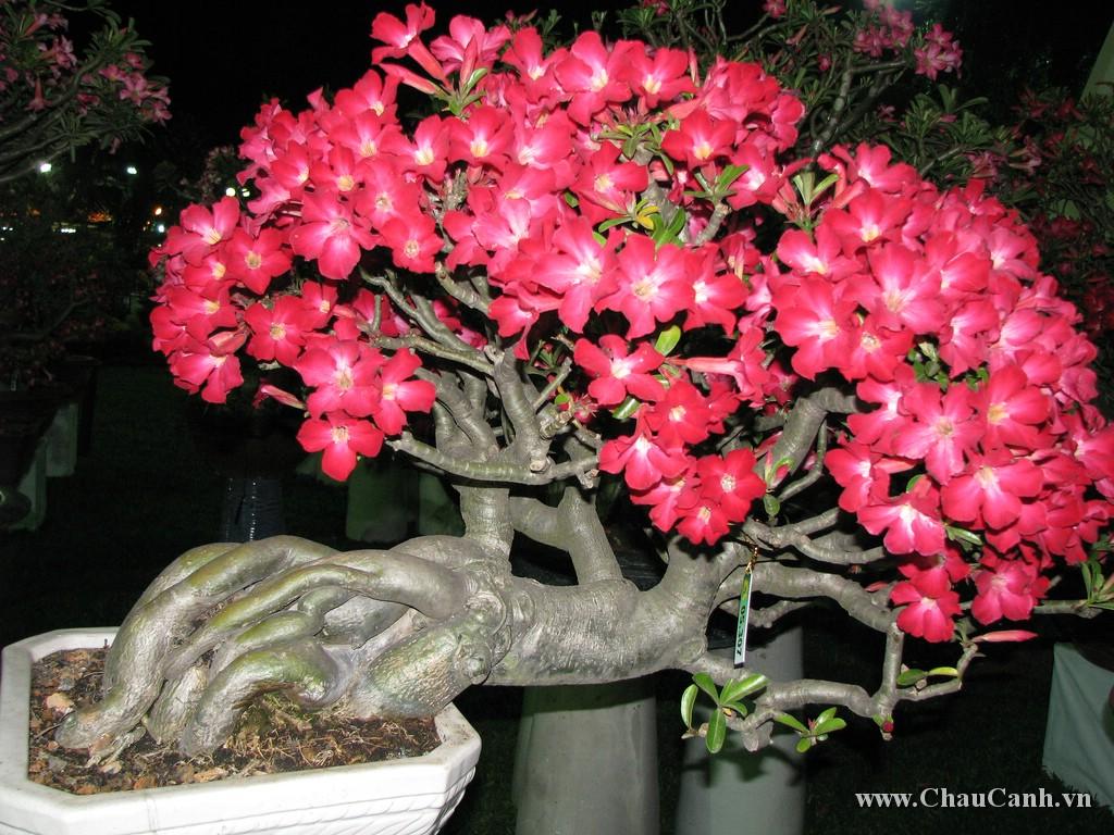 Chậu hoa sứ nếu biết chăm sóc thì sẽ ra hoa rất nhiều