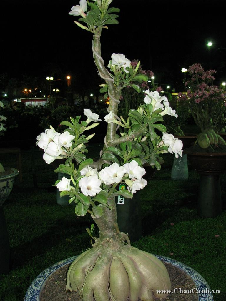 Hoa sứ trắng là loài hoa quý nên bạn cần chăm sóc kỹ cho Chậu hoa của mình