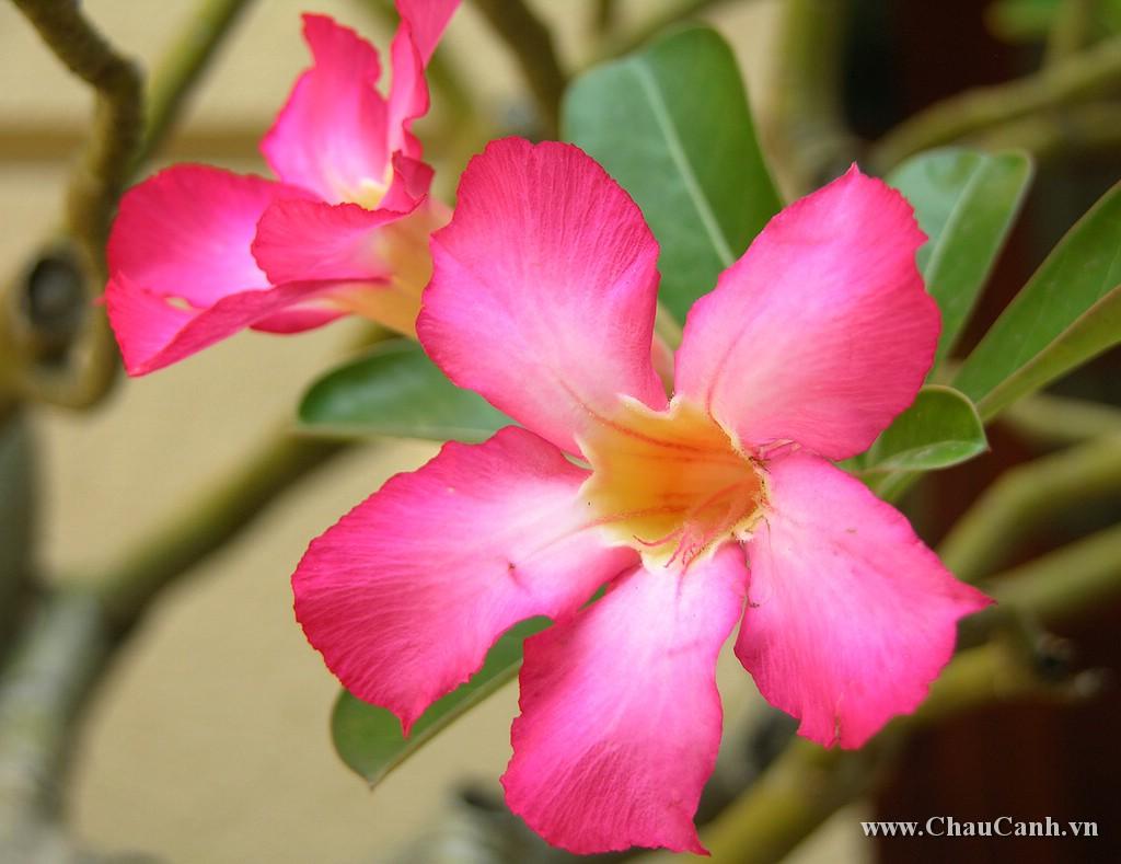 Chậu hoa sứ rất dễ trồng và chăm sóc