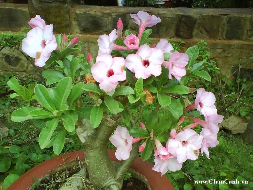 Chậu hoa sứ được rất nhiều người chơi cây cảnh chăm sóc, tạo dáng
